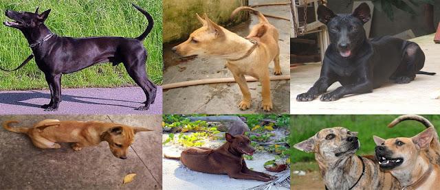 Chó Phú Quốc có một số đặc điểm phân biệt với các giống chó khác là các xoáy lông ở trên sống lưng, chân có màng, lông ngắn và mượt.
