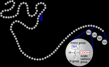 cadena de aminoácidos