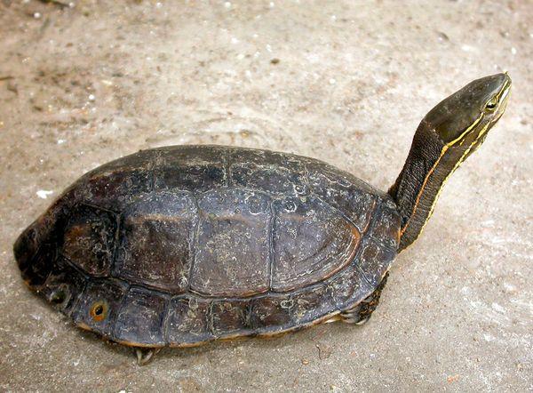 freshwater-turtles-threatened-yunnan-box-turtle_25940_600x450.jpg