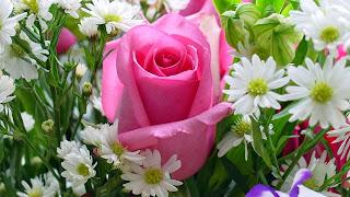 Pink Rose Desktop Picture