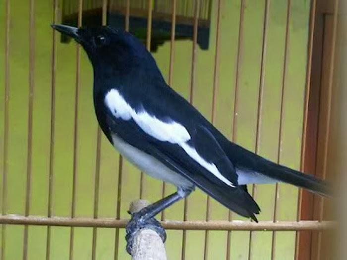 burung sumatera