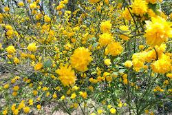 Shenandoah Roses