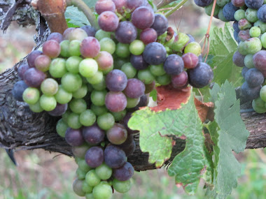 Green and Purple Grapes Almost Ready to Harvest