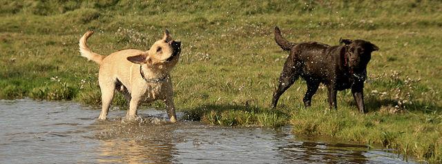 Labrador retriever names for male