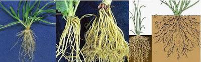 Jenis, Fungsi, dan Struktur Pada Akar Tumbuhan