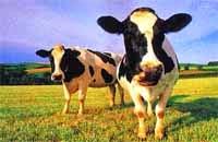 leche de vaca mal aliento