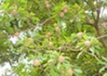 Como cultivar o sapotizeiro