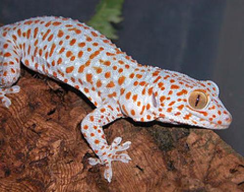 Pet Issues Tokay Gecko