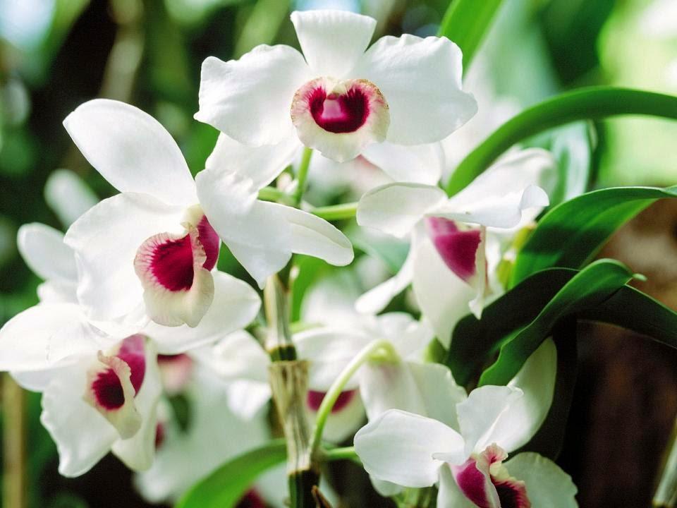 hình hoa lan ngọc điểm