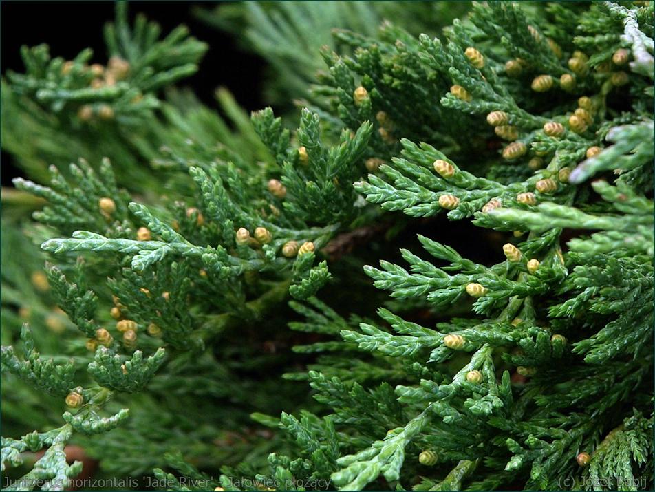 Juniperus horizontalis 'Jade River' - Jałowiec płożący 'Jade River' igły