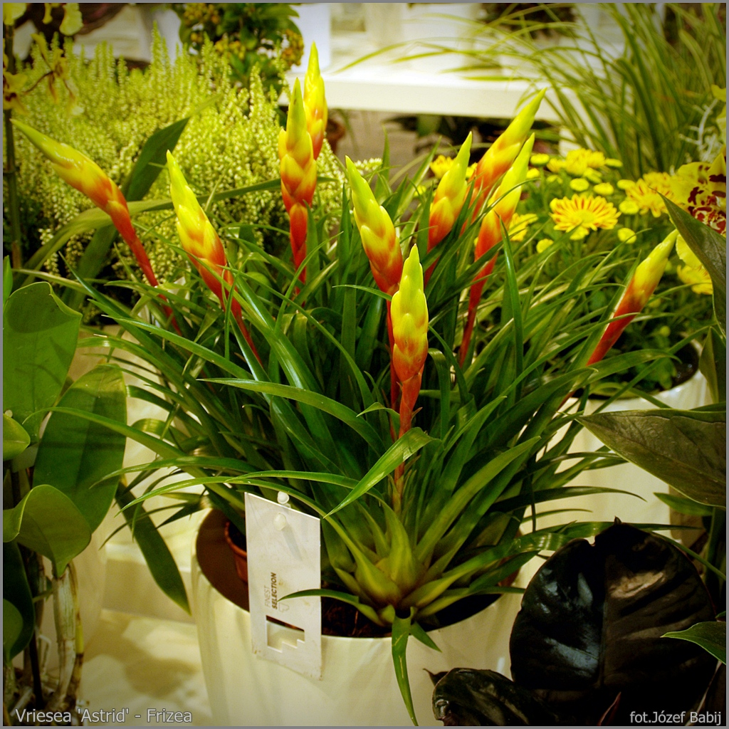 Vriesea 'Astrid' - Frizea