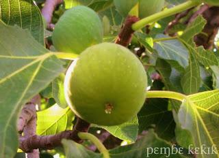 güz inciri