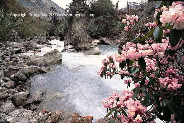 Teesta and rhododendrons, Thangu