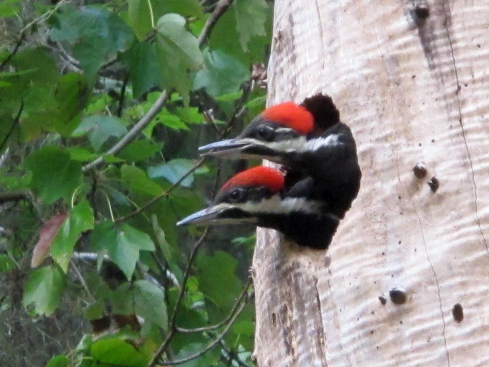 Low Tide Orbit: Pileated Woodpecker