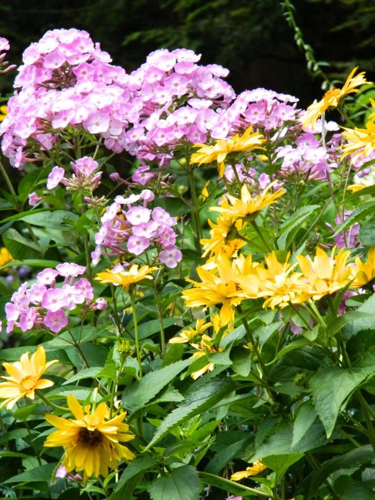 Summer Phlox paniculata Heliopsis helianthoides by garden muses-not another Toronto gardening blog