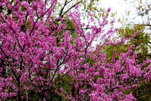 Redbud In Bloom Photo by Tori Beveridge AHWT