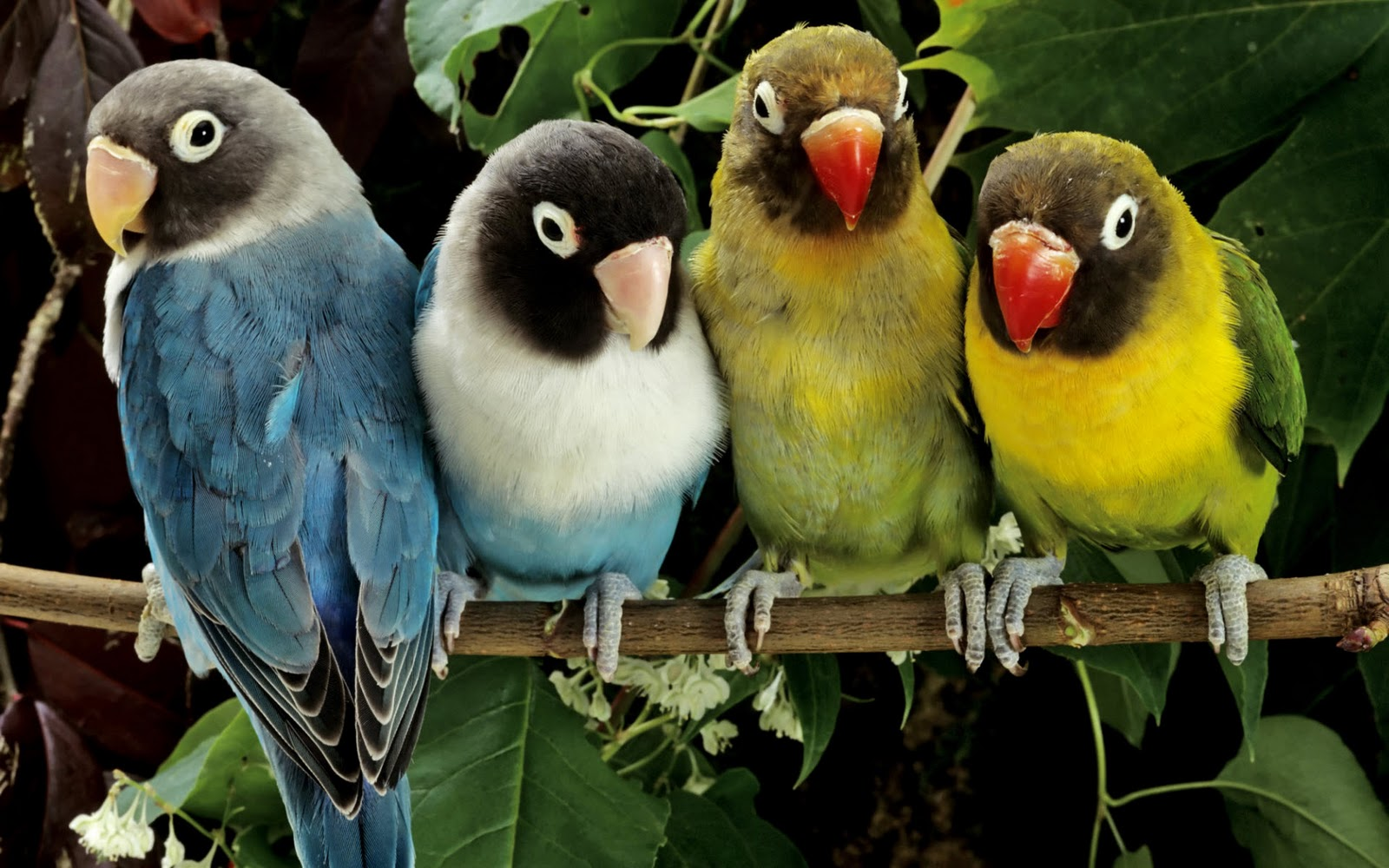 Picturespool Love Birds Wallpapers Beautiful Birds Pictures
