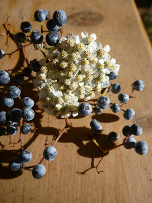 Sambucus cerulea – Blue Elderberry and Achillea millefolium