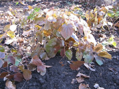 Barrenwort Epimedium grandiflorum early spring by garden muses: a Toronto gardening blog