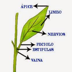 Las hojas de las plantas son organos laterales que brotan de los tallos