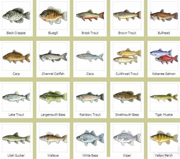authentic hall fish species fish species 609x541
