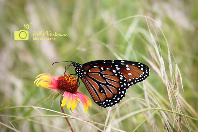 Butterfly, San Antonio Photographer, RAW Artist, Wildflowers, Government Canyon State Park
