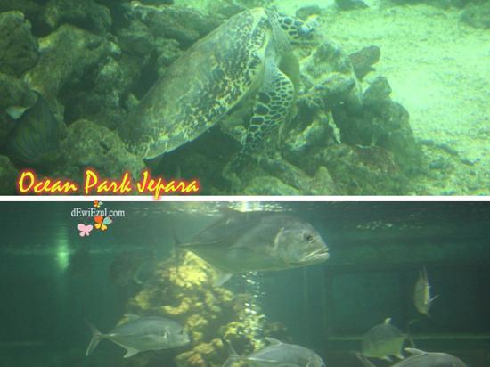 misteri bawah laut, Kura-kura ocean Park Jepara