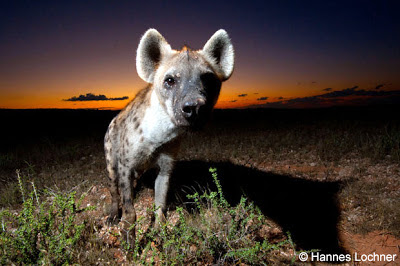 Hyena at night in the Kalahari