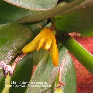 Pleurothallis luteola , Pleurothallis subcordifolia, Pleurothallis fragilis