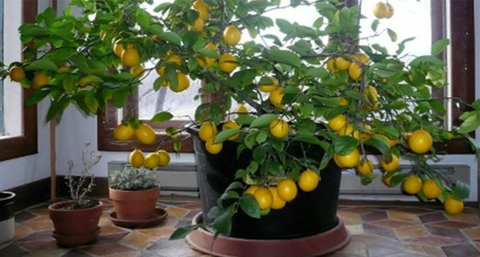 Как и когда посадить лимон из косточки в домашних условиях