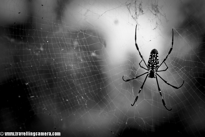 A casual click while I was in Palampur for a marriage and searching for a shop for Kangra-Tea. This spider was in one of the corners of a momo shop at Chaupati !!!