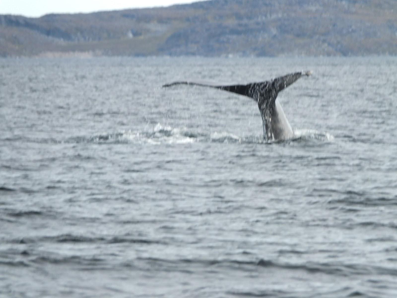 hvalsafari grønland