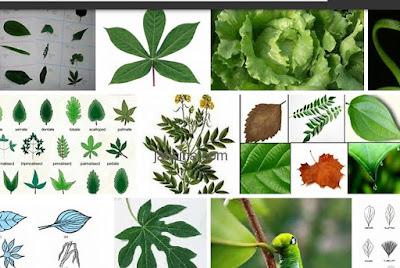 jenis daun tumbuhan yang bermanfaat