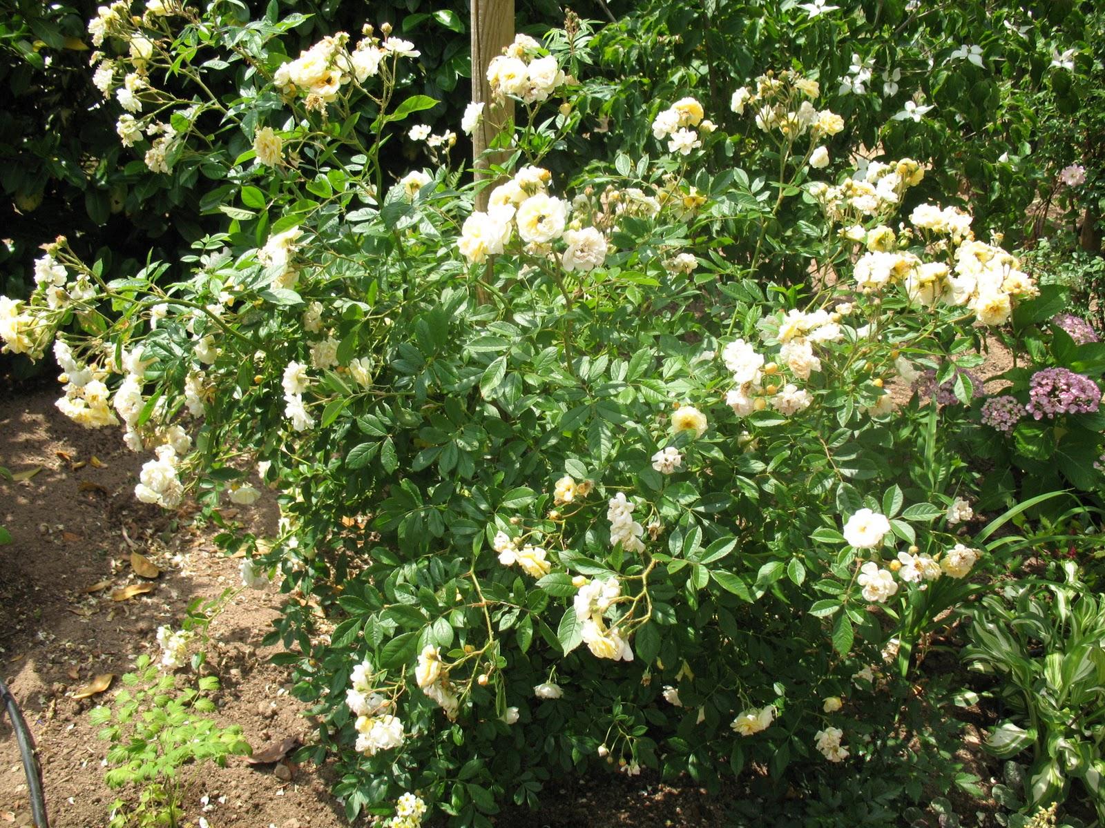 roses du jardin ch neland rosier ghislaine de f ligonde. Black Bedroom Furniture Sets. Home Design Ideas