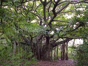 http://gubuk-fakta.blogspot.com/2014/01/pohon-tempat-tinggal-favorit-para-hantu.html
