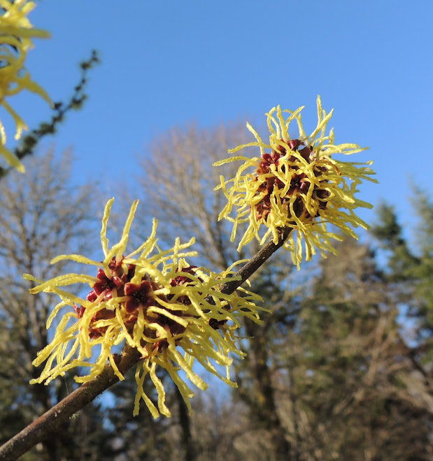 Witch Hazel Tree
