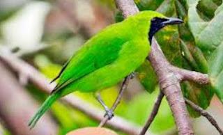 Tips Cara Jitu Untuk Merawat Burung Cecak Ijo Mini Cepat Gacor
