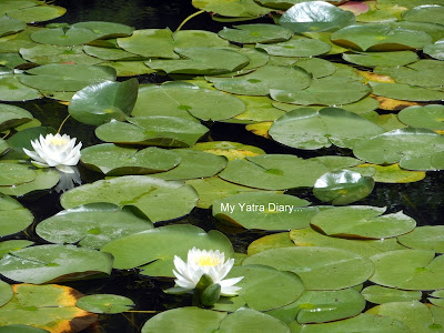 White Lotus in bloom, Heian Jingu shrine garden, Kyoto in Japan