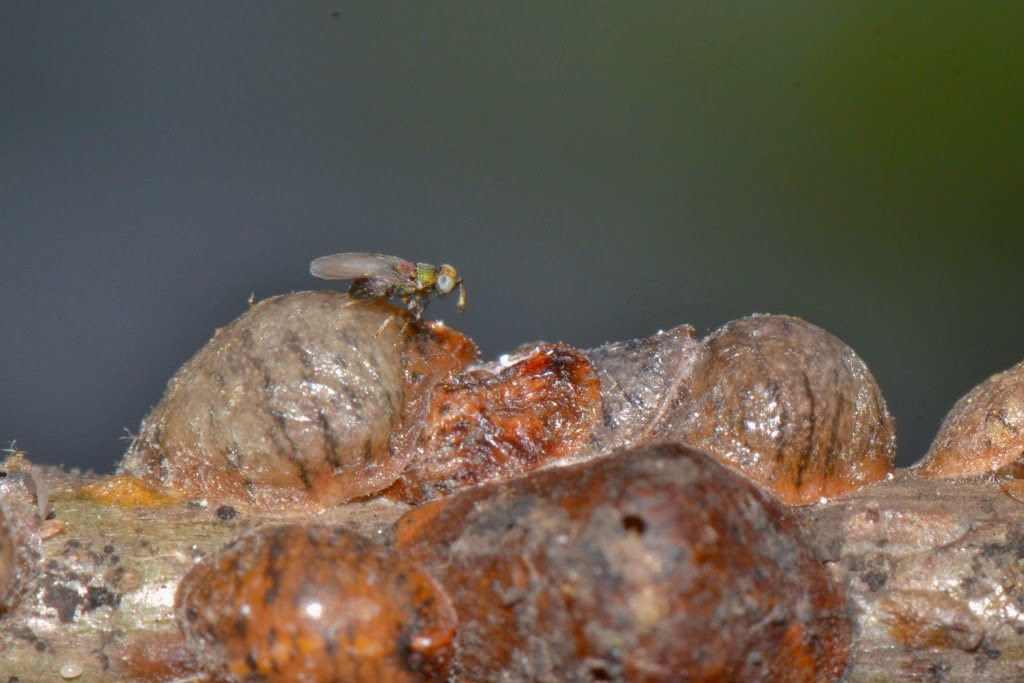 parasitic wasps laying eggs on scale insects