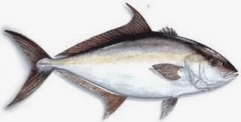 Sakaw Mancing 13 Jenis Ikan Kuwe Gt Giant Trevallyrs