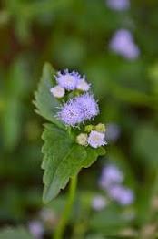 hoa phương thảo
