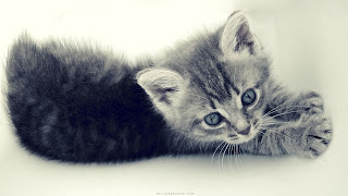Baby Cat Wallpaper