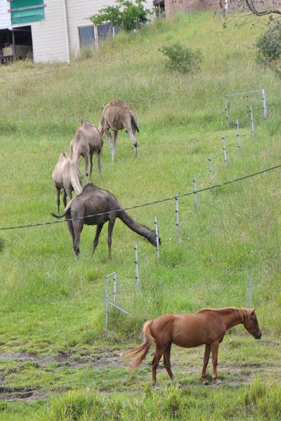 long neck horse