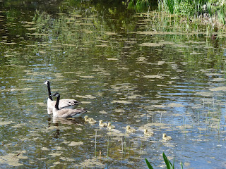 Canadian geese going for a swim with their babies