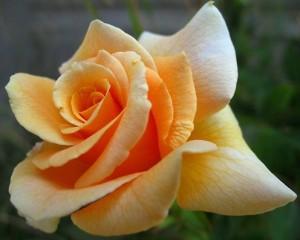 vitri phitie jenis dan arti bunga mawar