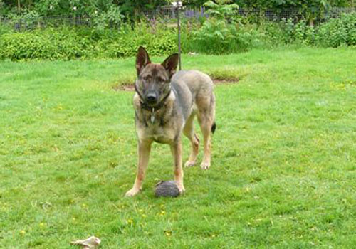 German Shepherd dog standing on a green lawn with a top at her feet