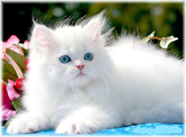 Beutiful White Cat Information And Latest Hd Pictures Wallpaper 2013
