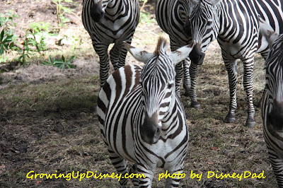 zebra AK growing up disney
