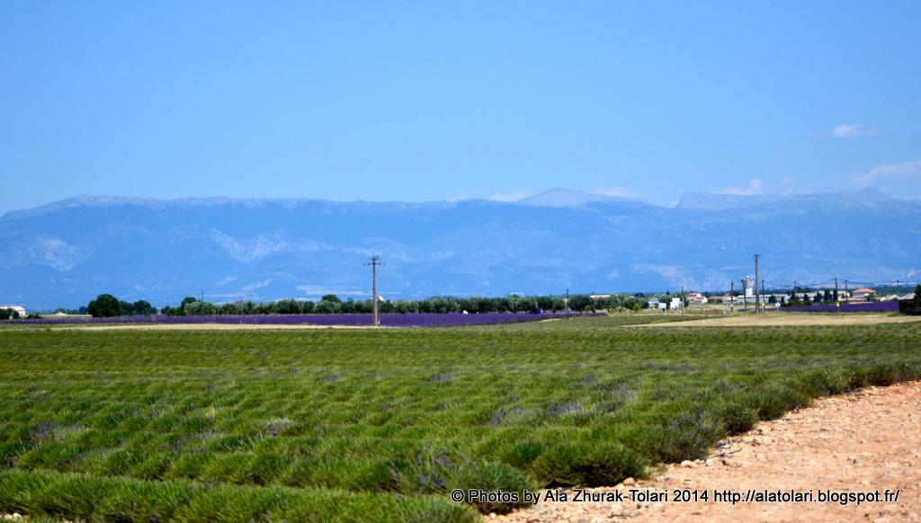 champs de lavande valensole