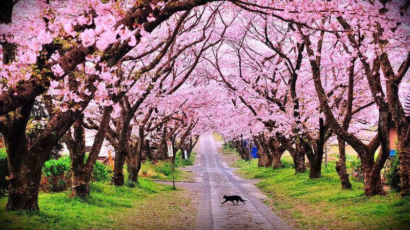 cherry_blossom_wp_2013_by_windylife.jpg